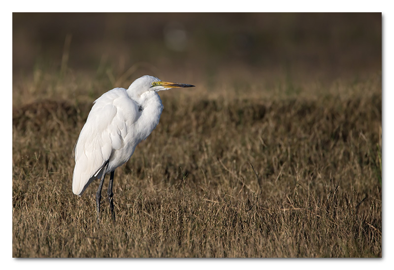 great white egret chobe river