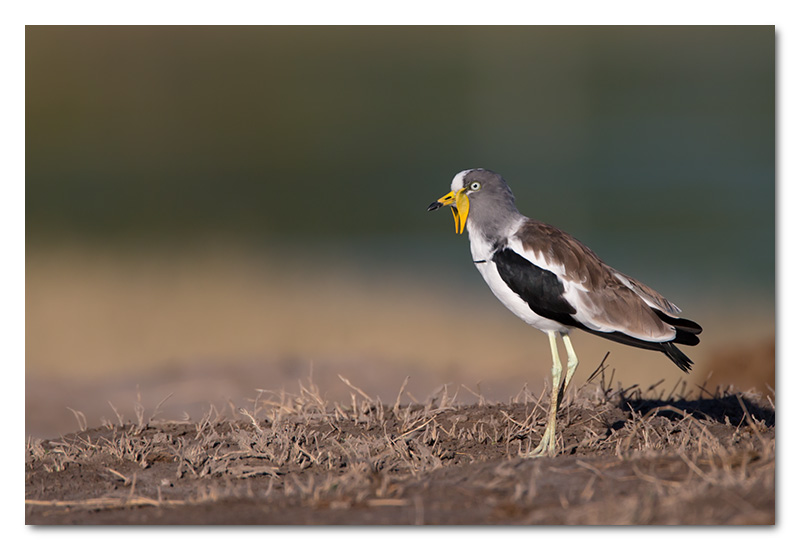 white-crowned plover lapwing chobe river