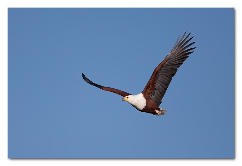 african fish eagle in flight chobe river