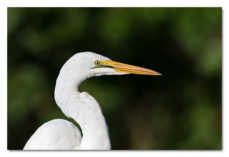 great white egret close-up chobe river head shot