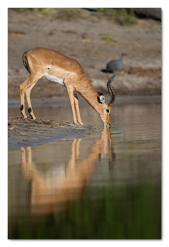 impala drinking chobe river