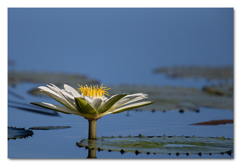 water lily chobe river