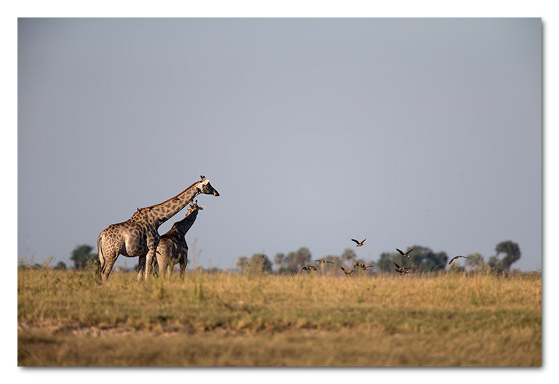 giraffes on chobe river grass plains