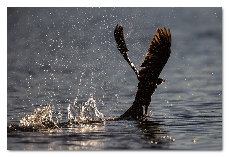 reed cormorant taking off water splash chobe river