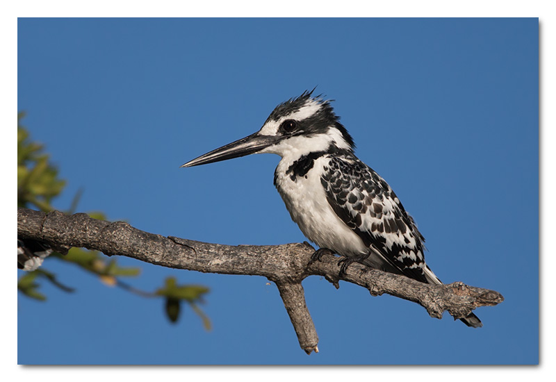 pied kingfisher chobe river