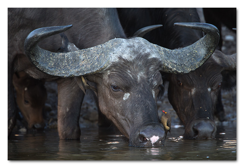 buffalo and ox-pecker drinking chobe river