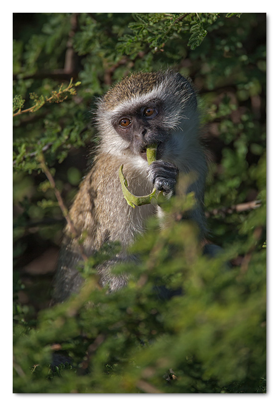 vervet monkey young eating seed pods chobe river