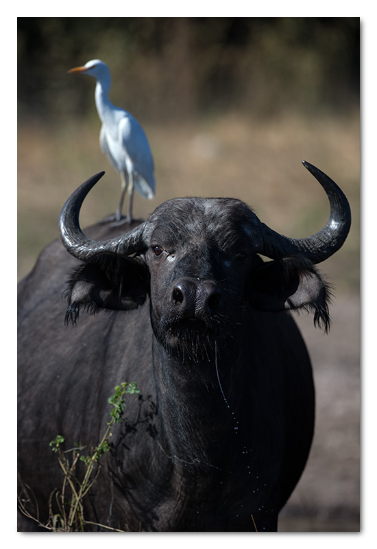 buffalo with egret on back chobe river