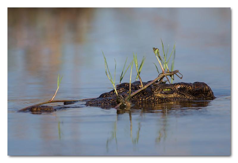 crocodile camouflage chobe river