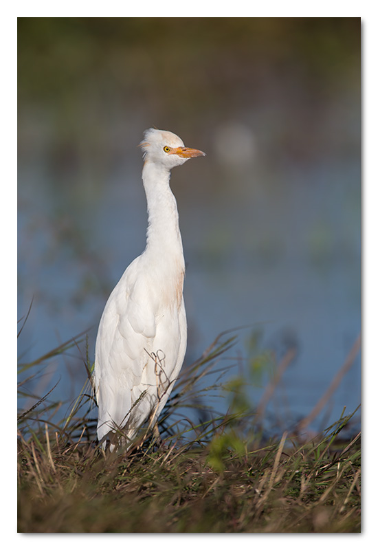 cattle egret chobe river