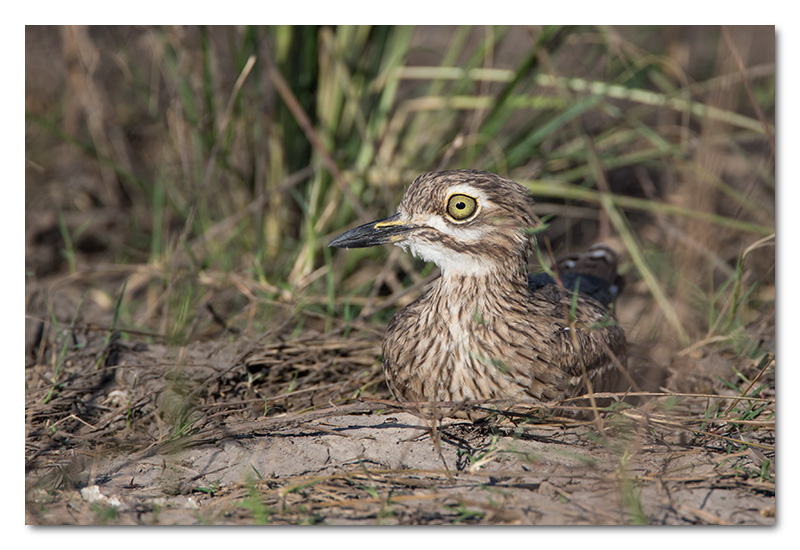 water dikkop thick knee chobe river