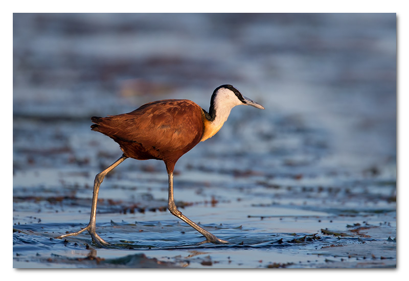 african jacana on water lily chobe river