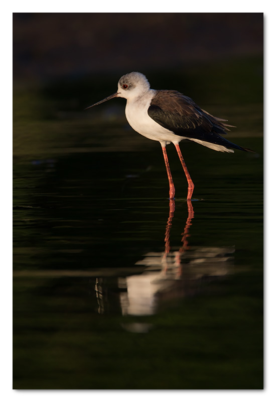 black-winged stilt chobe river