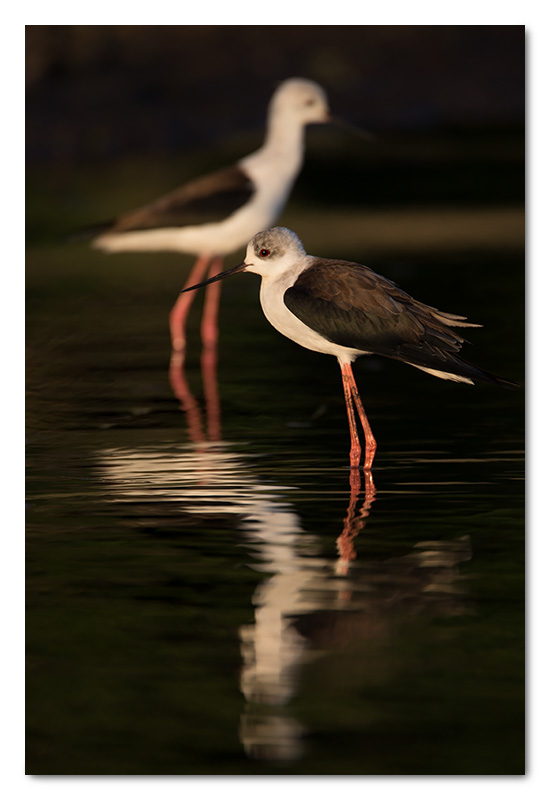 black-winged stilts chobe river