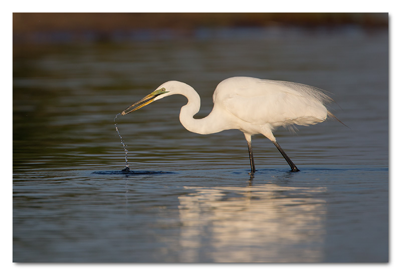 Great white egret fishing chobe river