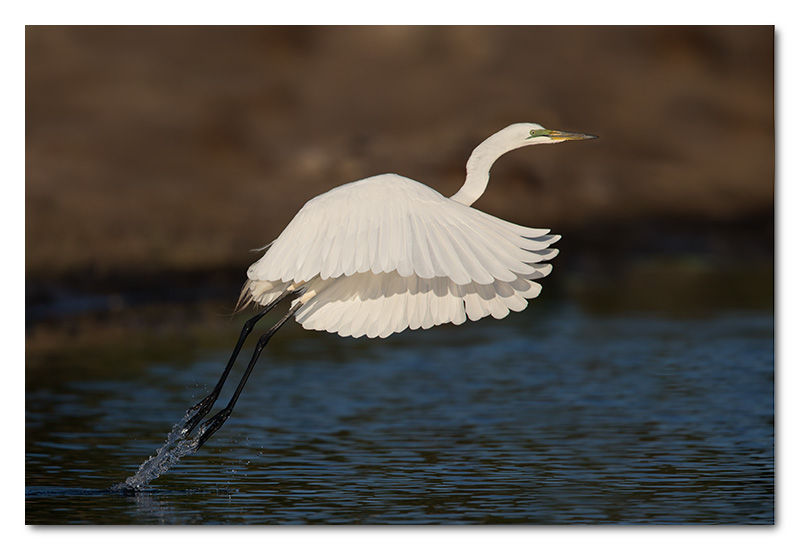 great white egret taking off flying chobe river