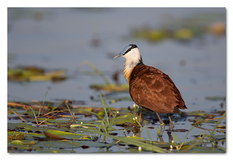 african jacana on lily chobe river