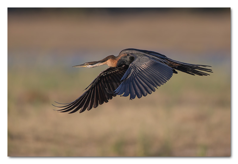 african darter flying chobe river