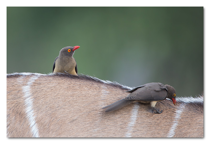red billed ox-peckers on kudu chobe river