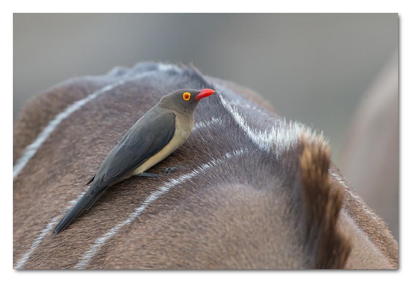 red billed ox-pecker on kudu chobe river