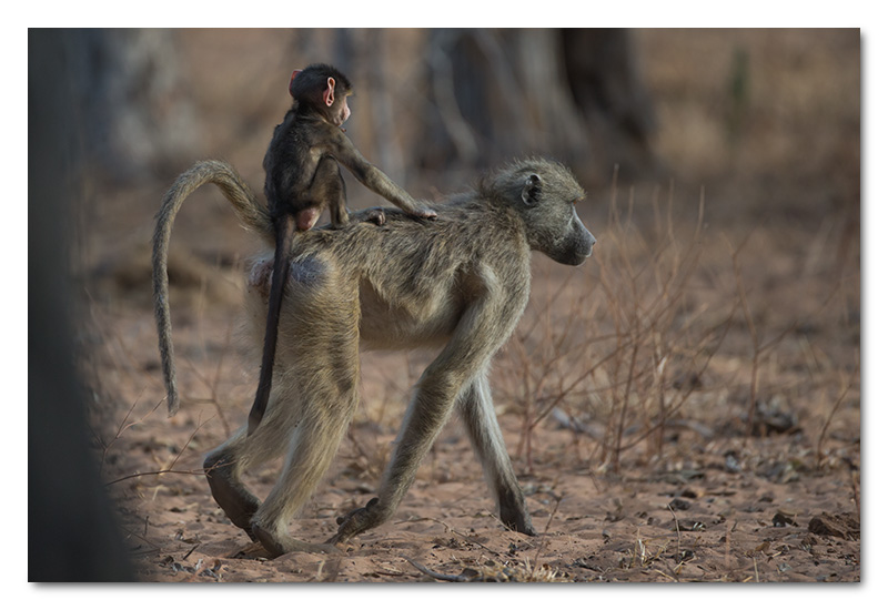 baby baboon riding on moms back chobe river