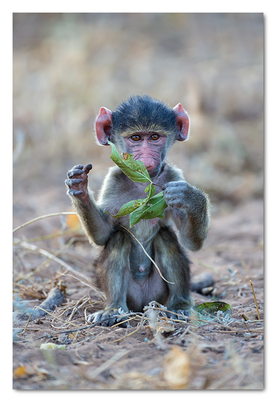 baby baboon playing chobe river