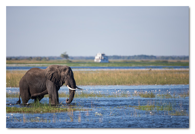elephant chobe river pride of the zambezi