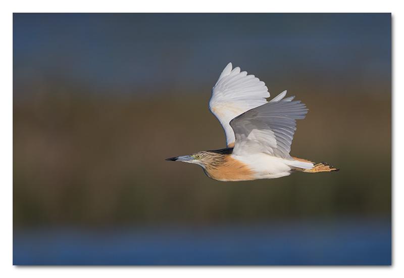squacco heron chobe river