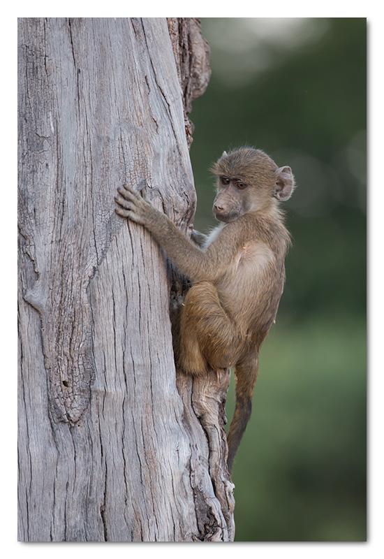 baby baboon climbing tree in chobe