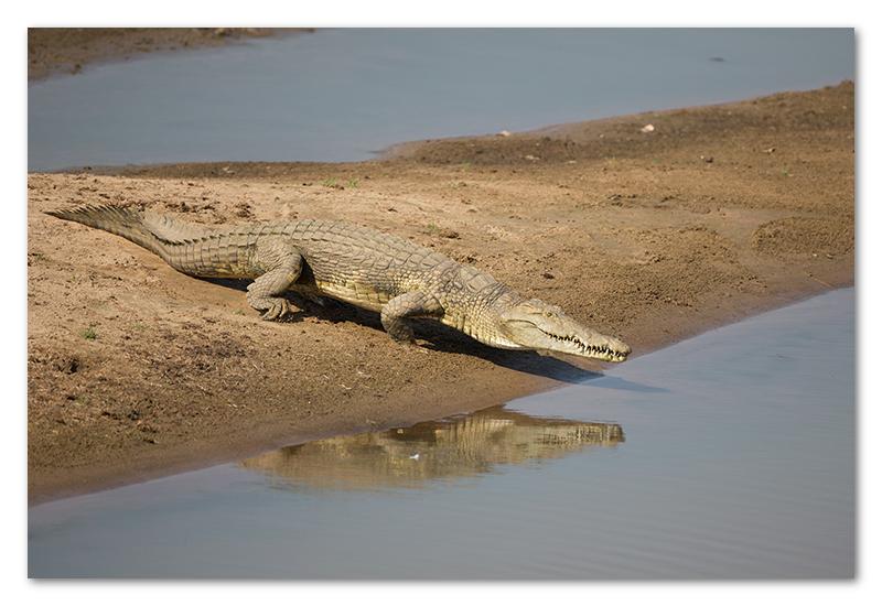 South Luangwa national park flatdogs (69)