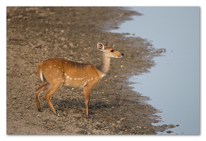 South Luangwa national park flatdogs (63)