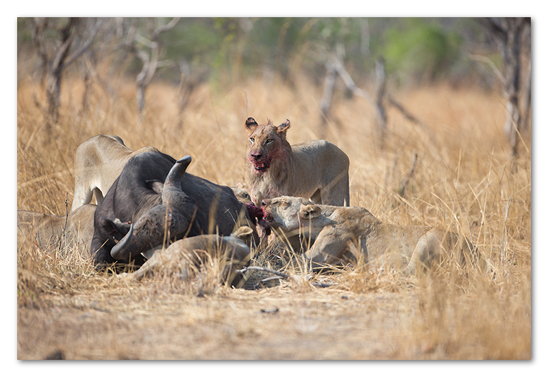 South Luangwa national park flatdogs (57)