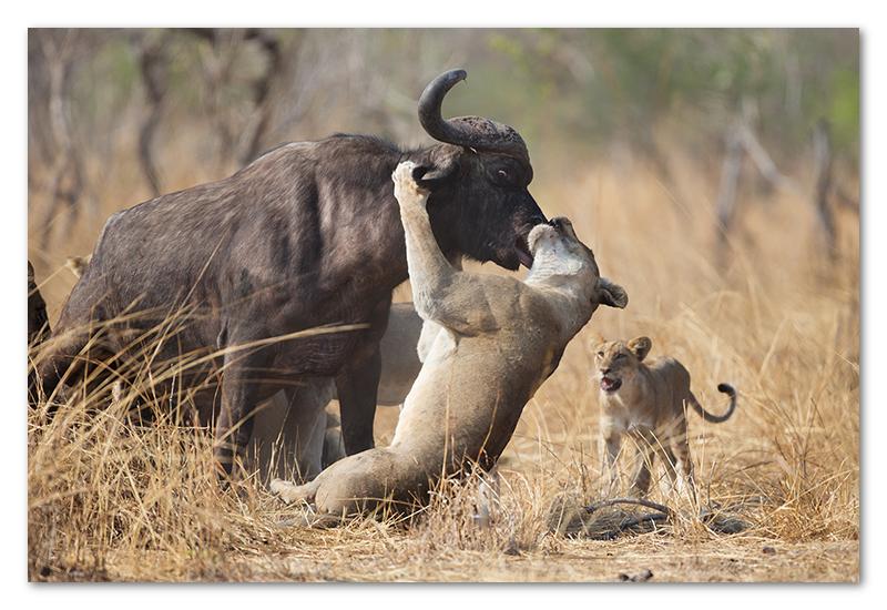 South Luangwa national park flatdogs (56)