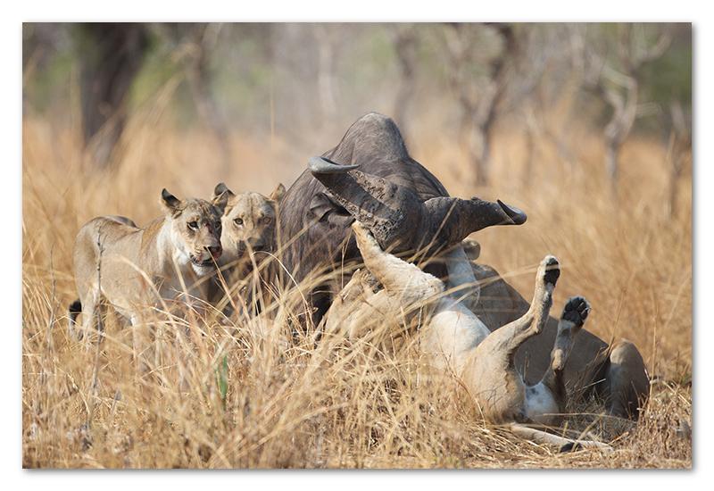 South Luangwa national park flatdogs (55)