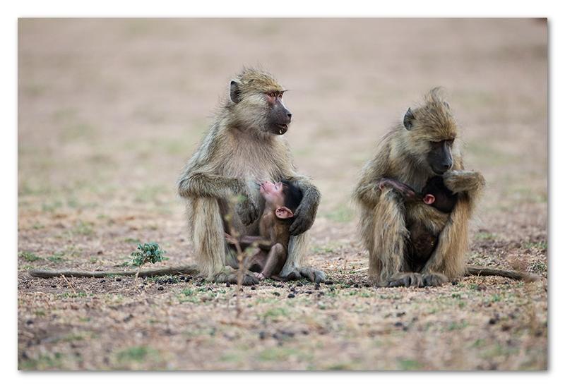 South Luangwa national park flatdogs (51)