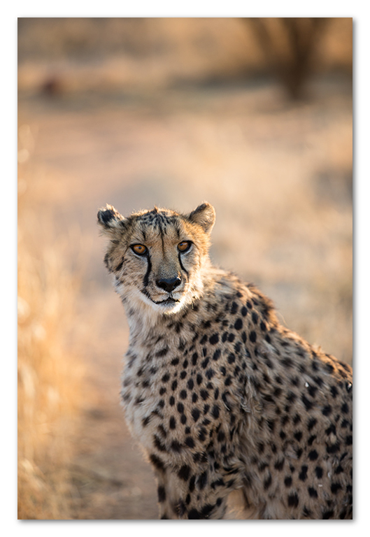Peter Dawson Photography - cheetah backlit