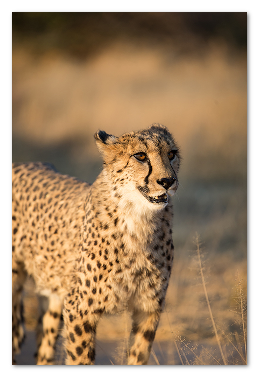 Peter Dawson Photography - cheetah portrait