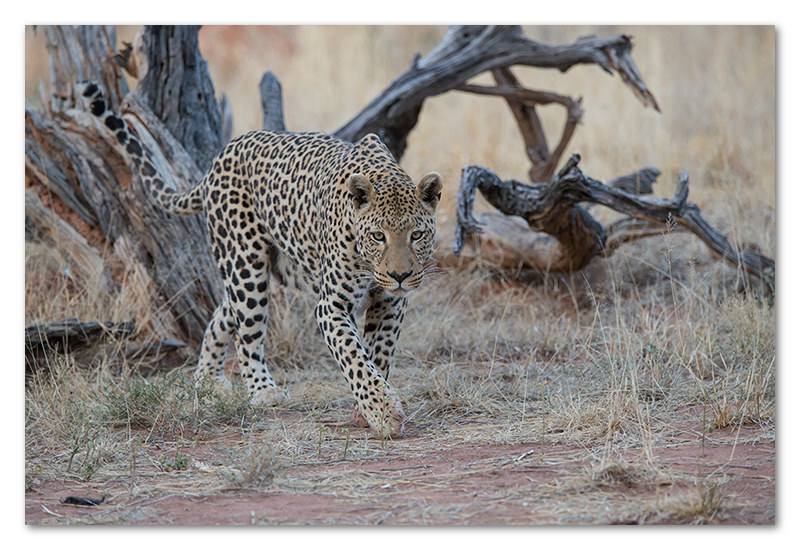 Peter Dawson Photography - leopard