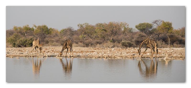 Peter Dawson Photography - etosha giraffe drinking waterhole namibia