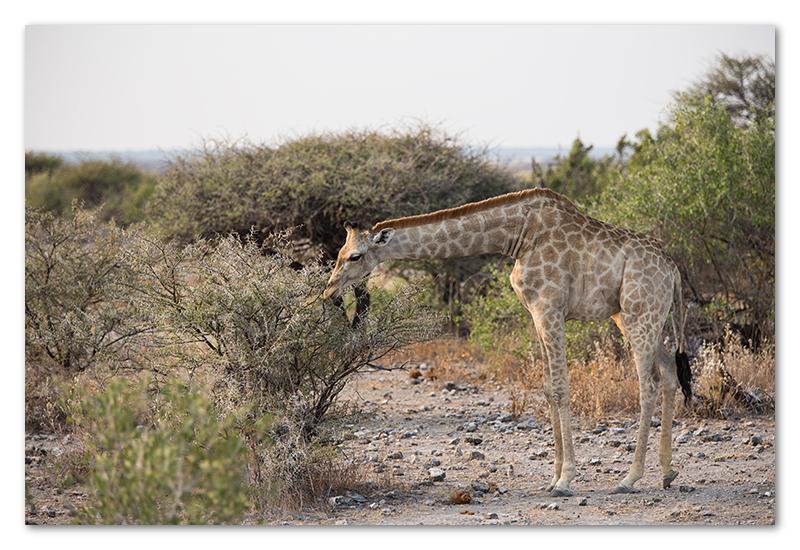 Peter Dawson Photography - etosha giraffe namibia