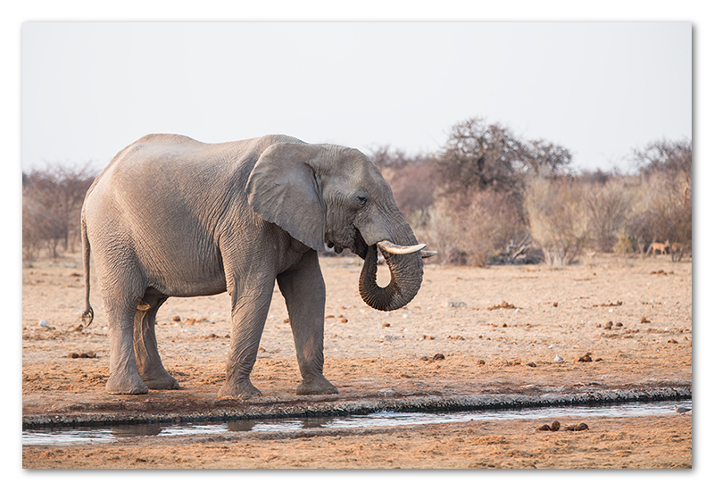 Peter Dawson Photography - etosha elephants drinking namibia