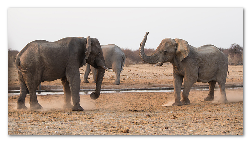 Peter Dawson Photography - etosha elephants sparing namibia