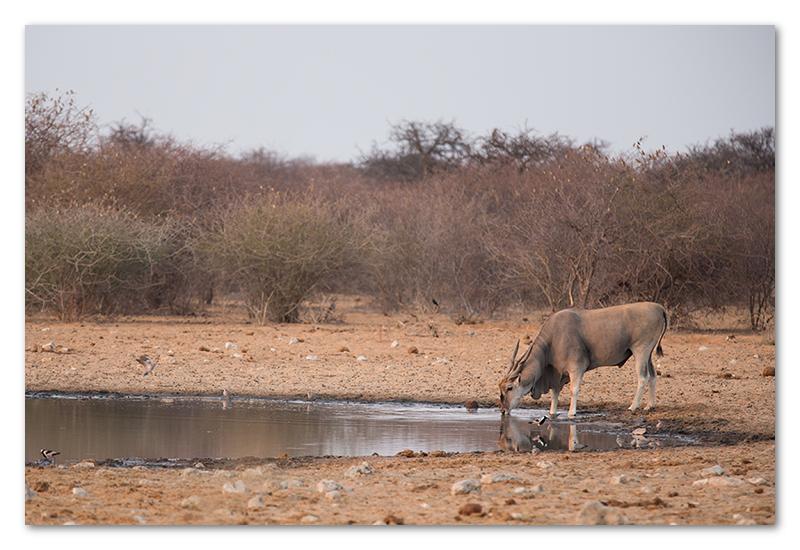 Peter Dawson Photography - etosha eland drinking waterhole namibia