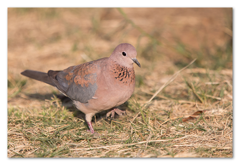 Peter Dawson Photography - etosha laughing dove namibia