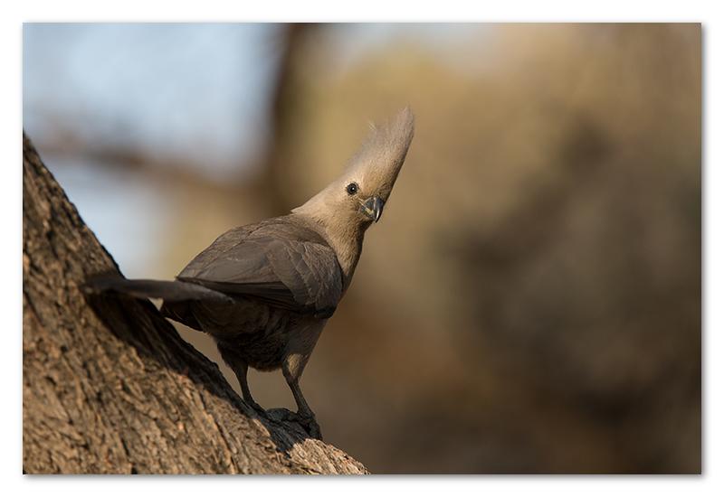 Peter Dawson Photography - etosha grey lourie namibia