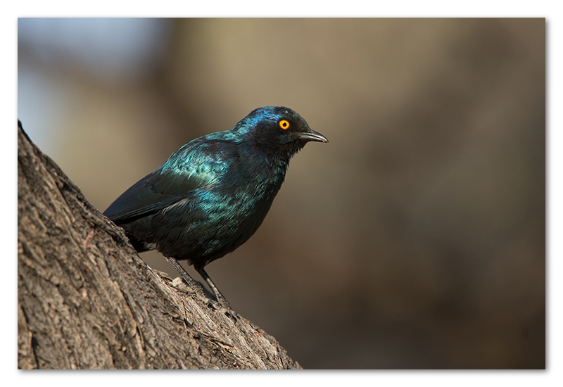 Peter Dawson Photography - etosha glossy starling namibia