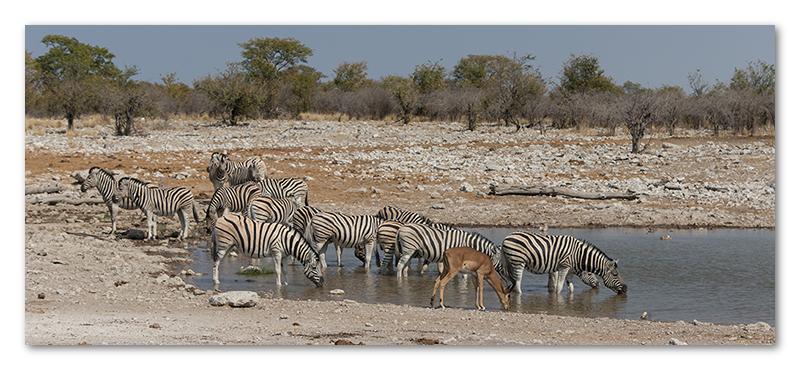 Peter Dawson Photography - etosha waterhole zebra impala