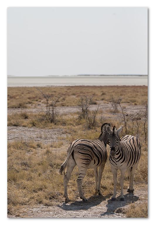 Peter Dawson Photography - etosha zebra
