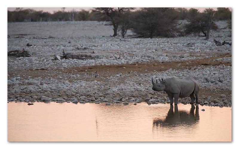 Peter Dawson Photography - etosha waterhole black rhino namibia