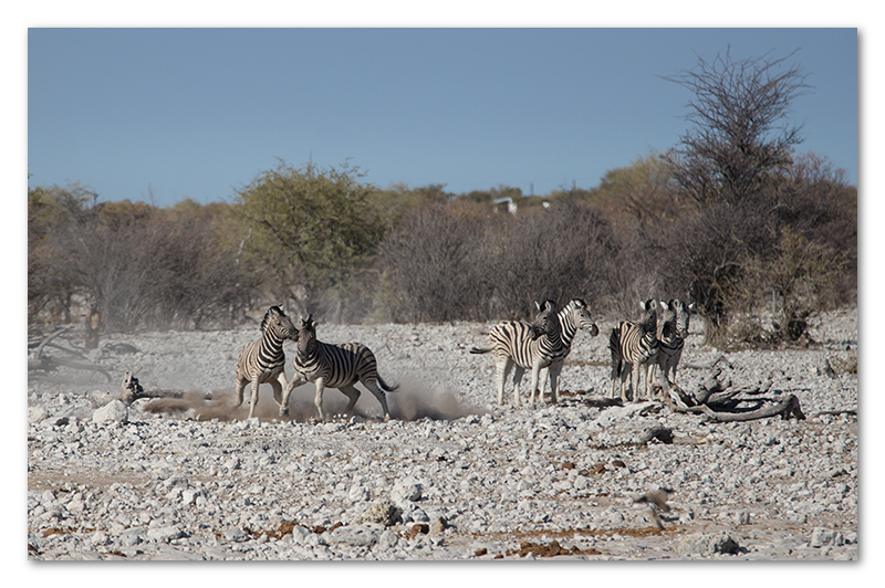 Peter Dawson Photography - etosha zebra fighting